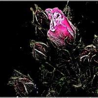 Розовые бутончики :: Нина Корешкова