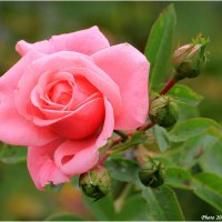 Роза :: Виктор Марченко