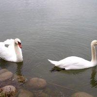 Лебеди :: Елена