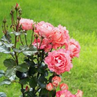 Розовый куст :: Aнна Зарубина