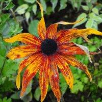 Увядающий цветок рудбекии :: Маргарита Батырева