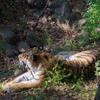 Не безызвестный уссурийский тигр по кличке Амур :: Евгений Поварёнков