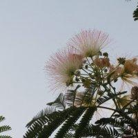 Альбиция розовая :: Герович Лилия