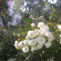Rugsėjis sode / September in my garden :: silvestras gaiziunas gaiziunas