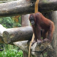 В зоопарке Кота Кинабалу. Орангутанг :: Елена Павлова (Смолова)