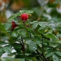 дождливый шиповник :: StudioRAK Ragozin Alexey