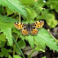 Бабочка на листе мака :: Светлана Лысенко