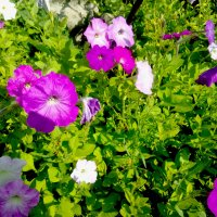 Цветы-Петуния :: Татьяна Королёва