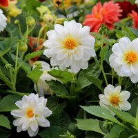 Осенние краски цветов. :: Маргарита ( Марта ) Дрожжина