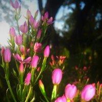 ...неизвестный миленький цветочек :: Lilek Pogorelova