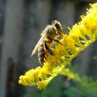 Солнечная пчелка! :: Наталья