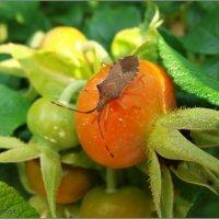 Пересел с малины на шиповник :: °•●Елена●•° Аникина♀