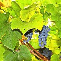 Виноград ... :: Oleg Kondr