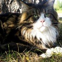 Серьезный кот :: Евгения Сенченко