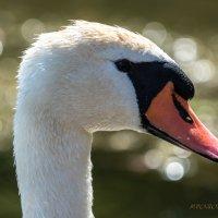лебедь :: Rost Pri (PROBOFF-RO) Прилуцкий Ростислав