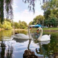 Лебеди, парк. :: Ylia Verevskaya