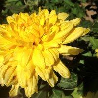 Первая хризантема раскрывает свои лепестки... :: Нина Корешкова
