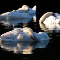 Сновидения лебедя :: Alexander Andronik