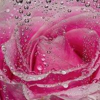Розовая роза макро :: Александр Синдерёв