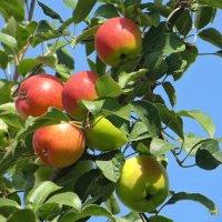 Румяные яблочки :: Татьяна Смоляниченко