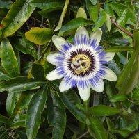 Цветок пассифлоры :: Natalia Harries