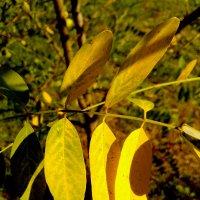 Жёлтые листья акации :: Татьяна Королёва
