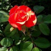 Алая роза :: Светлана