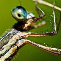 Портрет маленькой стрекозы.. :: Серёжа Стрельников