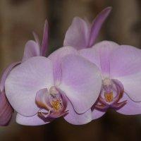 Орхидея... :: Дмитрий Петренко