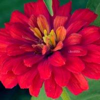 Аленький цветок :: Анастасия сосновская