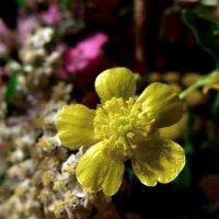 Лютики-цветочки... :: Елена