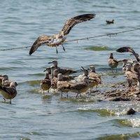 Азовские чайки :: Oleg