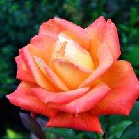 Роза :: Владимир Болдырев
