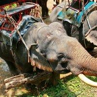 Слоны :: Александр
