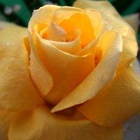 роза :: Горкун Ольга Николаевна