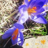 Первые крокусы в Архызе. Начало мая 2015 года :: татьяна