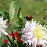 Бабочка :: Владимир Переклицкий