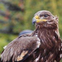 Степной орел :: олег