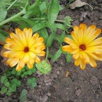 Два оранжевых цветочка :: Дмитрий Никитин