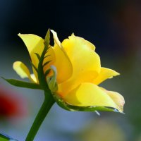 Yellow rose :: Олег Шендерюк