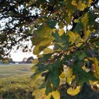 Дубовые листья :: Михаил Тотти