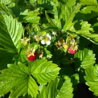 Последние ягодки :: veera (veerra)