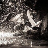 Купание голубей :: Алена Афанасьева