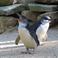 Зоопарк «Featherdale», пингвинчики :: Tatiana Belyatskaya
