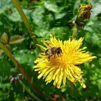 Одуванчик и пчела :: Nina Yudicheva