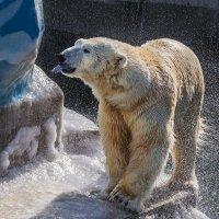 Полярнфй медведь :: Nn semonov_nn
