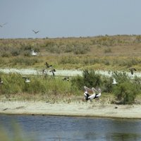 Пеликаны на реке Чу. :: Алла
