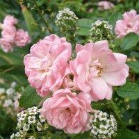 Миниатюрная роза :: svetlana.voskresenskaia