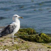 Черноморская чайка :: Дмитрий Сиялов