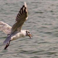 Черноморская чайка с добычей :: Дмитрий Сиялов